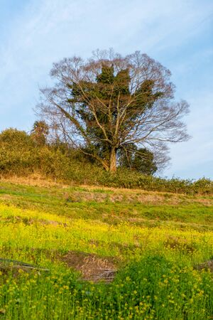 Trees on the hill where rape blossoms bloom