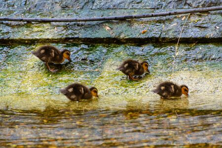 Four ducklings playing on the waterside