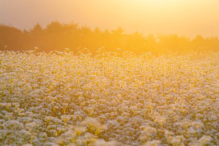 The morning sunshine and buckwheat flowers