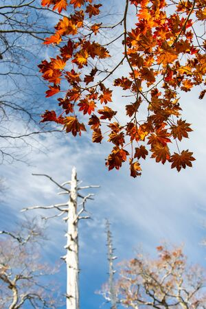 Orange leaves and white tree trunks