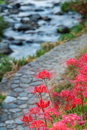 spider lilies, stone pavement and a stream