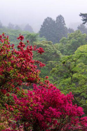 Azaleas on a foggy mountain