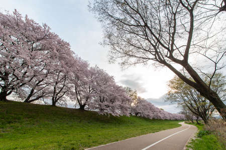 Straight sidewalks and banks and rows of cherry blossom trees