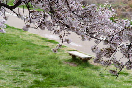 Cherry blossoms, banks and benches