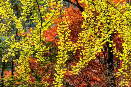 Yellow leaves and red leaves on a giant ginkgo tree 写真素材