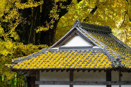 Fallen leaves of ginkgo on the roof of a Japanese style building