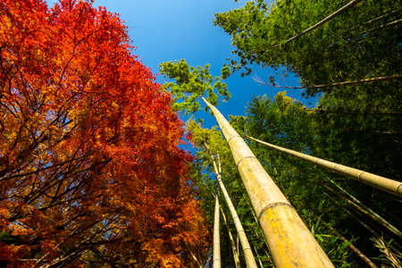 Tall, thick bamboos and autumn leaves