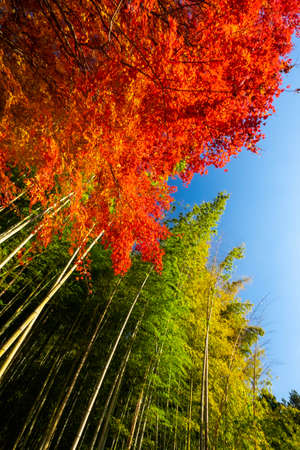 Bamboos stretching straight up to the red leaves and blue sky