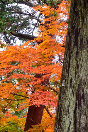 Slanting tree trunks and autumn leaves 写真素材