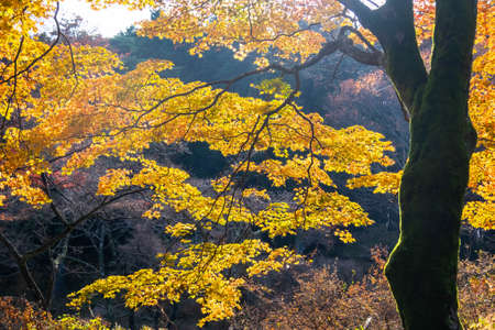 Huge yellow-colored trees. 写真素材