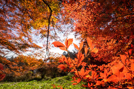 Red leaves that glow beautifully in the sun