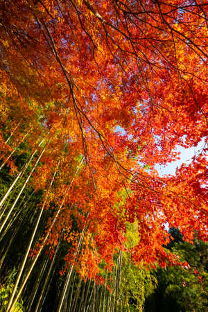 Vivid autumn leaves on a mountain with a bamboo forest