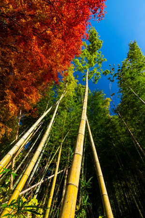 High bamboo and autumn leaves