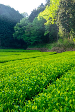 A tea plantation built in the mountains