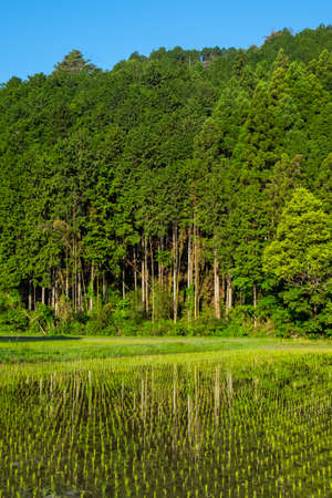 A forest reflected in a rice field just after planting 写真素材