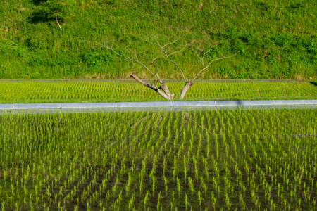 Trees reflected in a rice field just after planting