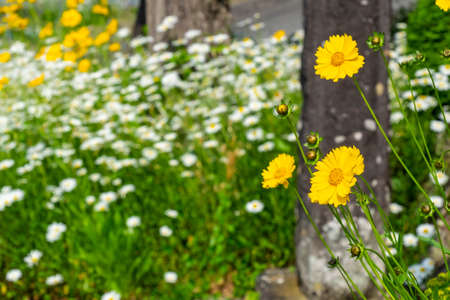 Clusters of yellow and white marguerites 写真素材