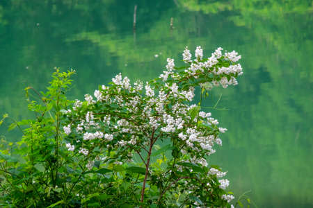 White flowers and fresh greenery reflected in the lake 写真素材
