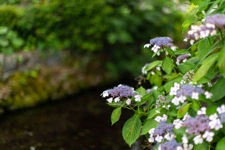 A beautiful stream of water and hydrangea flowers