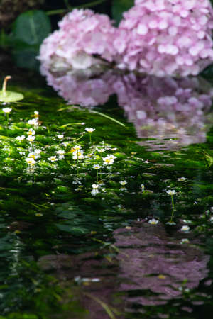Hydrangea and water plants with beautiful reflections in the water