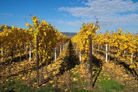 the fruitful: rows of yellow wine grapes Stock Photo