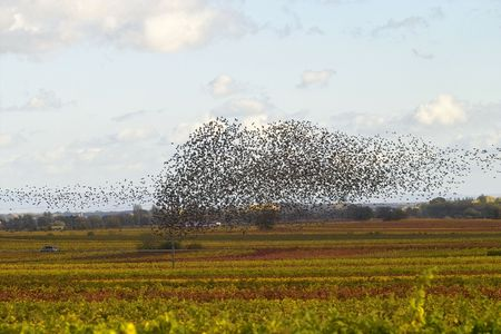 cloud of birds over the wineyards, Germany photo