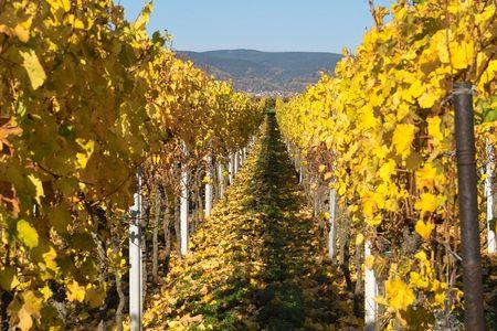 autumn wineyards, Germany