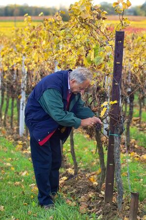 winemaker: mature winemaker checking the rows of wine grapes