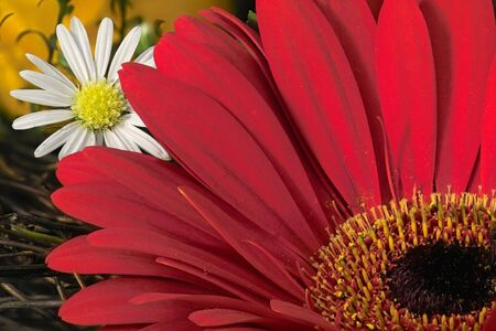 red gardenia and white dasy photo