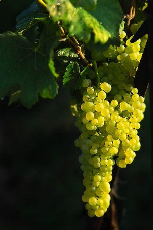 glowing light wine grapes