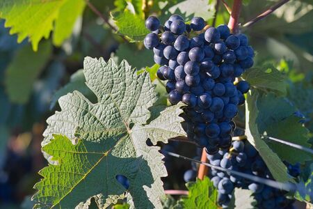 the fruitful: Glowing dark violet wine grapes