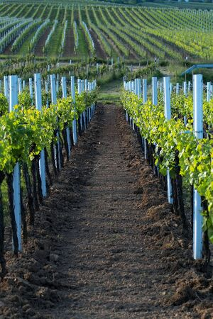 rows of wine grapes in backlight