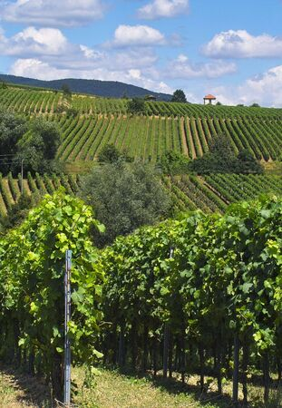 uvas vino: hileras de uva de vinificaci�n en la luz de fondo