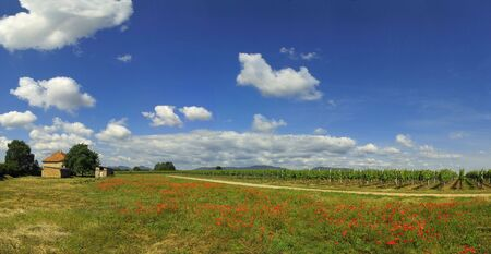 vineyard plain: Poppies field panoramic picture