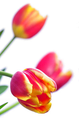 erect: close-up of a beautiful tulip with shallow DOF