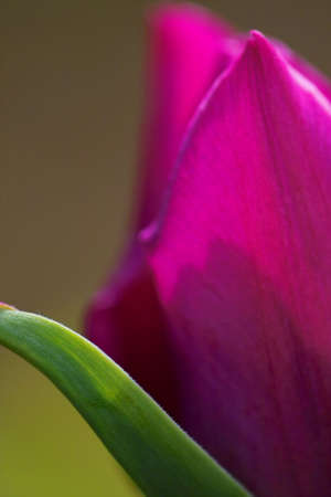 close-up of a purple tulip Stock Photo - 376821
