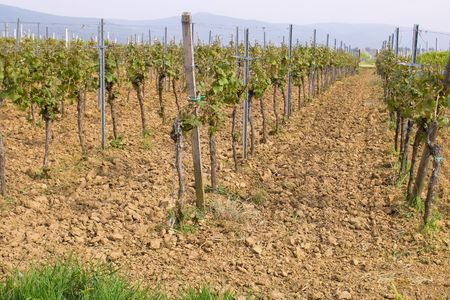sauternes: rows of young grapes in wineyards of southen Germany region Rheinland Pfalz