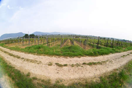 sauternes: fish eye picture of rows of young grapes in wineyards of southen Germany region Rheinland Pfalz