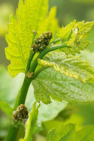 sauternes:  young grapes in wineyards of southen Germany region Rheinland Pfalz