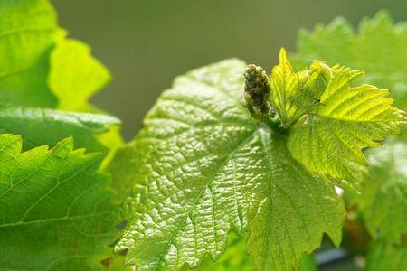 growers:  young grapes in wineyards of southen Germany region Rheinland Pfalz