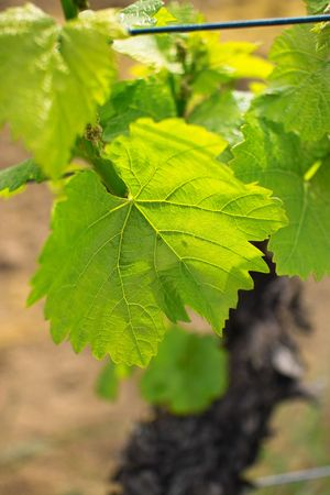 the fruitful: young grapes in wineyards of southen Germany region Rheinland Pfalz Stock Photo