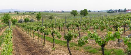sauternes: panoramic picture of rows of young grapes in wineyards of southen Germany region Rheinland Pfalz
