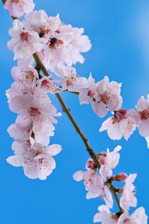 cherry almond blossom in spring