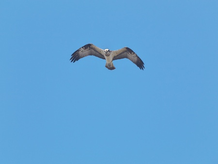 osprey: Osprey in blue sky