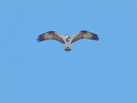 Osprey in blue sky photo