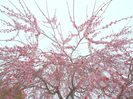 The flower of a weeping cherry tree under a cloudy sky Stock Photo - 13176961