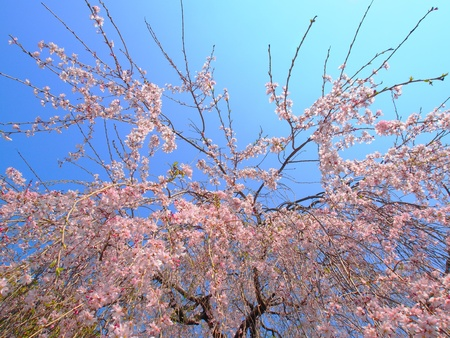 The weeping cherry tree under a blue sky