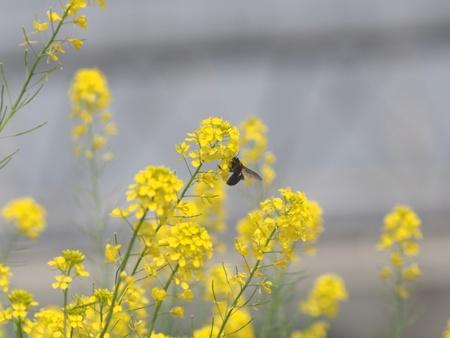 菜の花とクマバチ 写真素材
