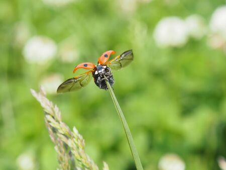 The seven-spoted ladybug which extended the wing  Stock Photo - 13554940