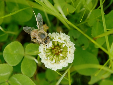 The bee and flower of a clover photoed from right above  photo